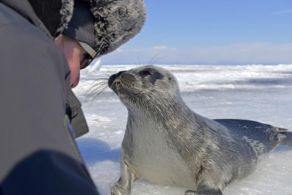 Robben im Baikalsee: Das Nerpa-Baby am Baikalsee ist mehr als zutraulich und stupst die Taucher sogar an.