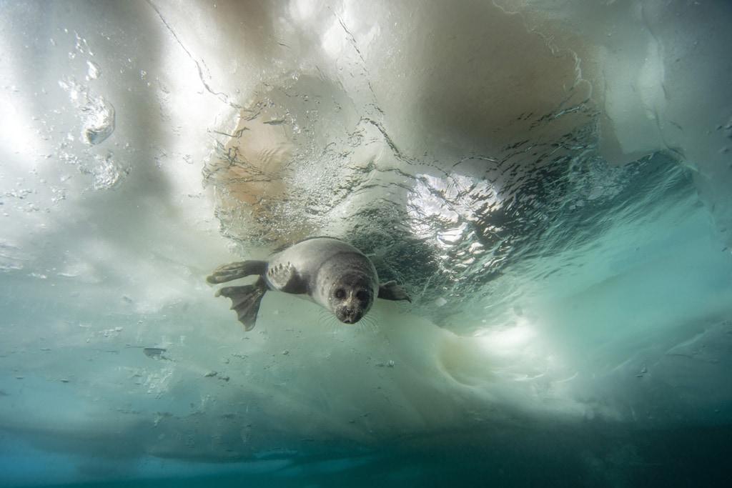 Das Serpa-Baby ist neugierig auf die Taucher im Baikalsee.