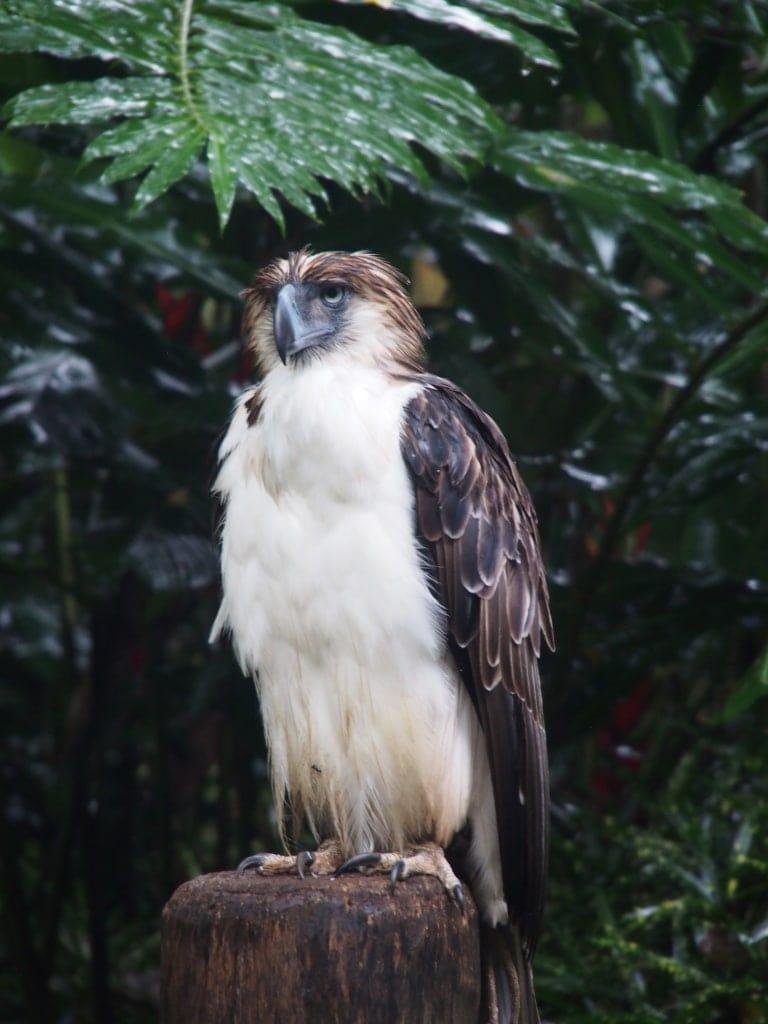 Der Philippinenadler ist ein Symbol für das Aussterben der Tierarten geworden.
