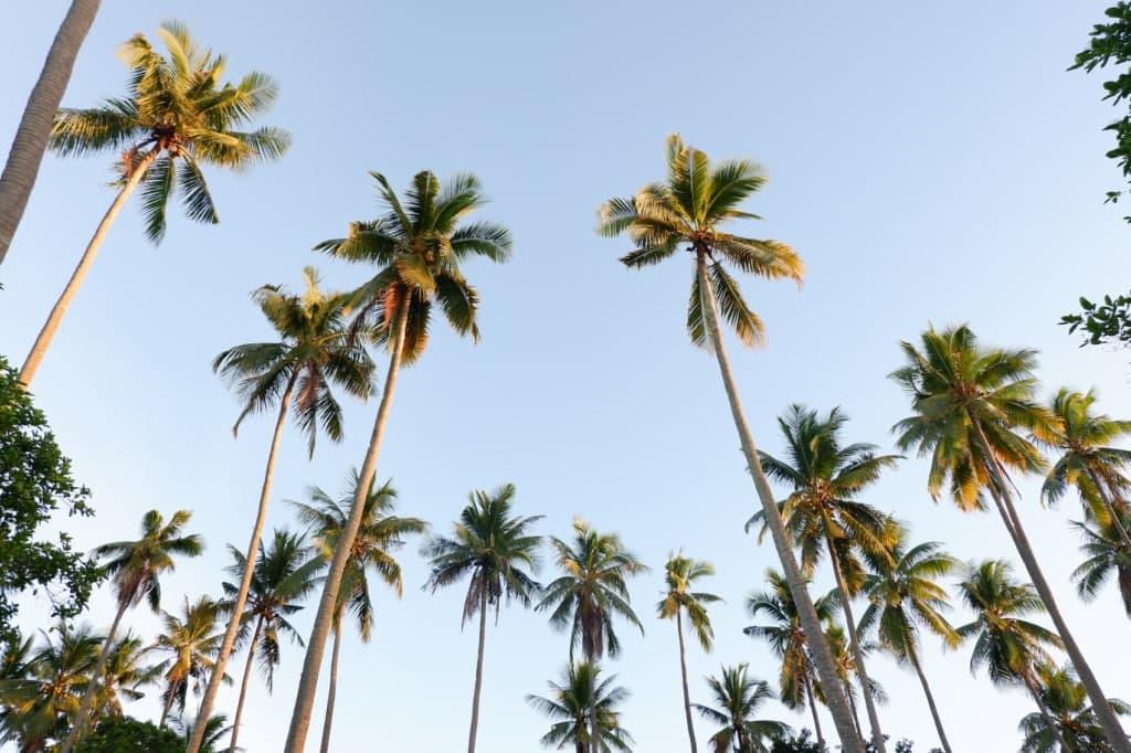 Palmen, soweit das Auge reicht auf Mindanao!
