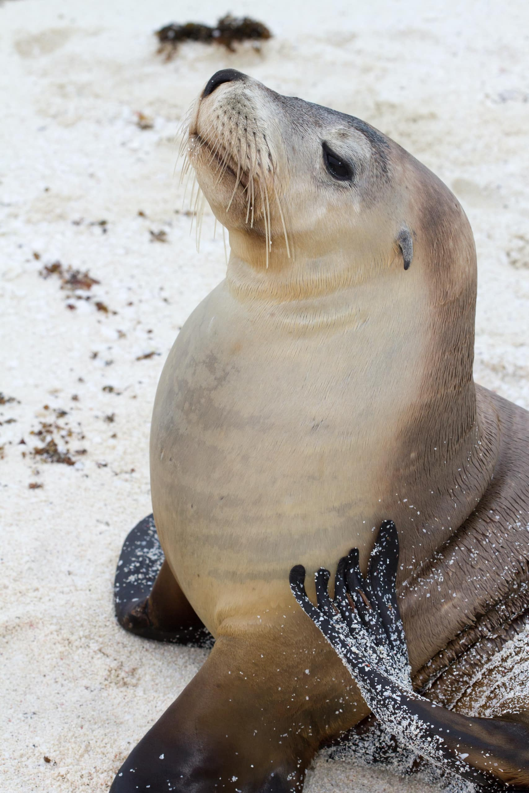 Robbe am Strand der Abrolhos Islands