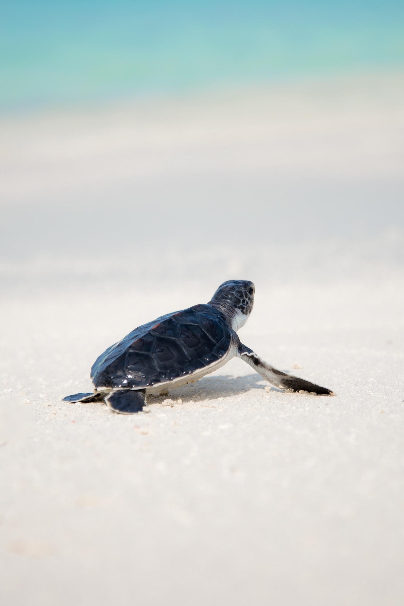 Babyschidkröte tapst auf weißem Sandstrand