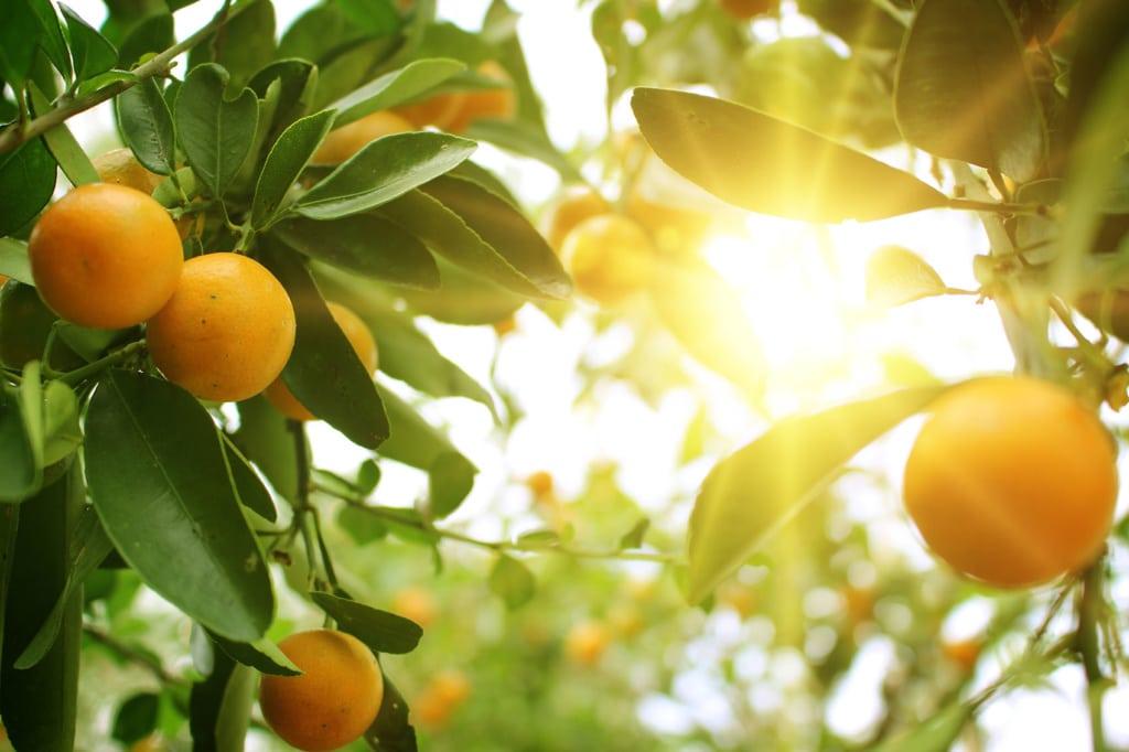 Orangen an einem Baum