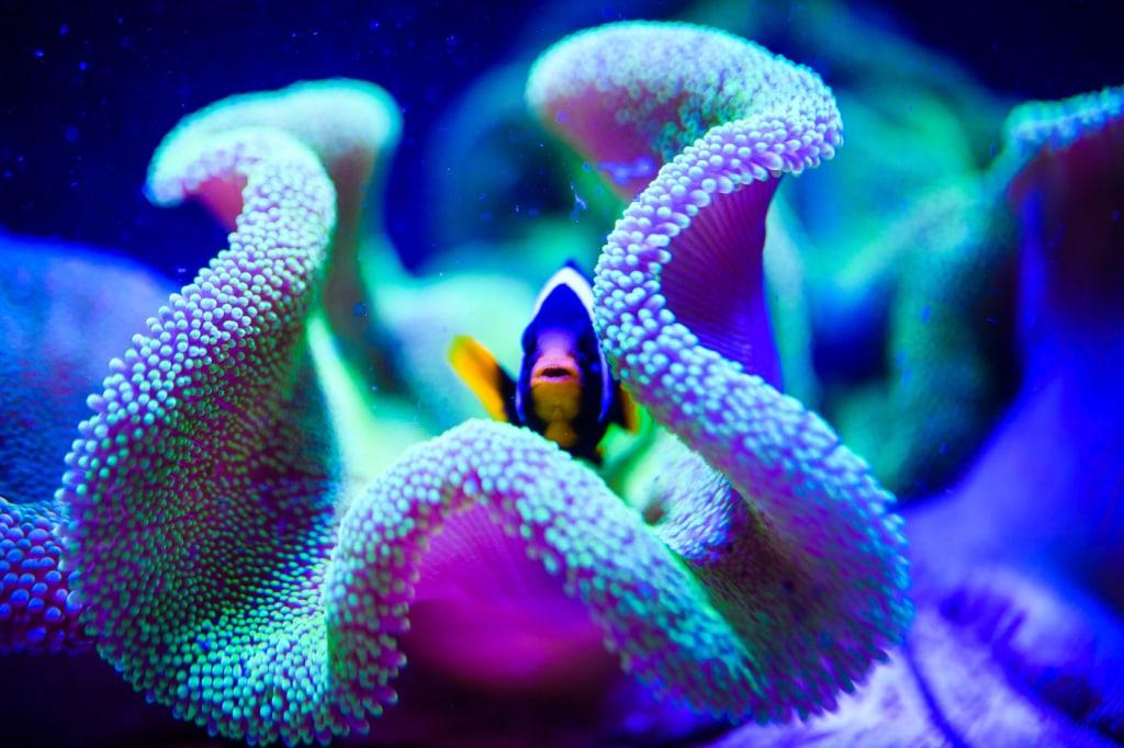 Das Great Barrier Reef in Australien ist leider von einer starken Korallenbleiche betroffen.