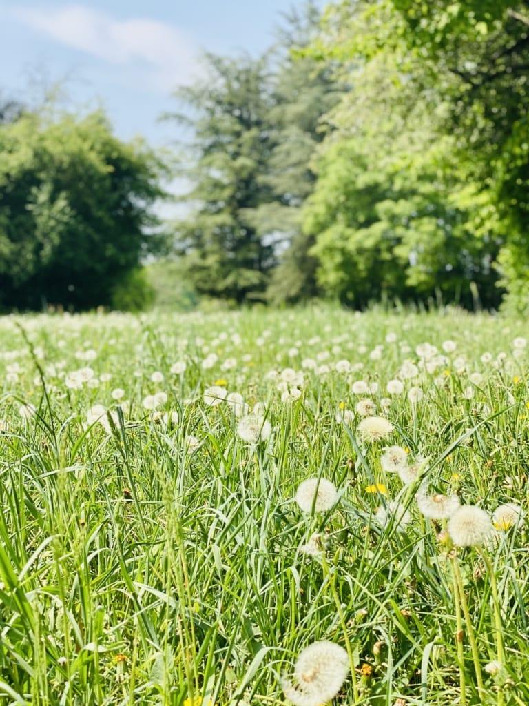 Wiese mit Pusteblumen im Forstbotanischen Garten in Köln