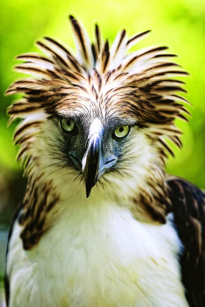 Der Philippinenadler ist eines der am meisten bedrohten Tierarten dieser Welt.
