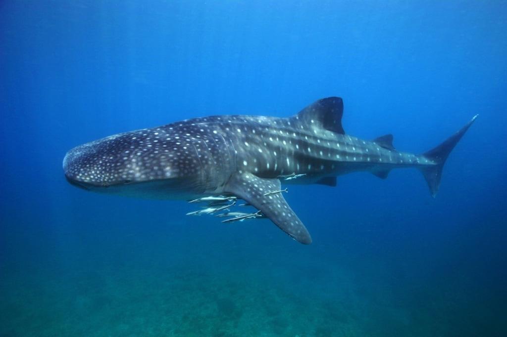 Die Begegnung mit Walhaien auf den Philippinen bleibt eine unvergessliche Erfahrung.