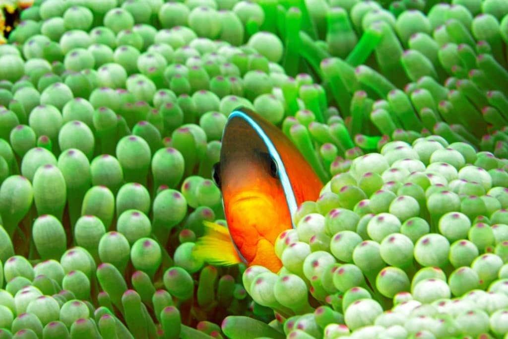 Clownfisch in den Gewässern Fijis