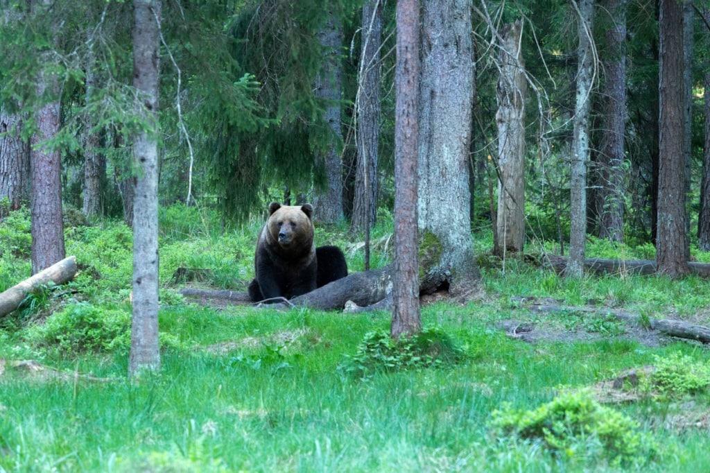 Bär in Estlands Wald
