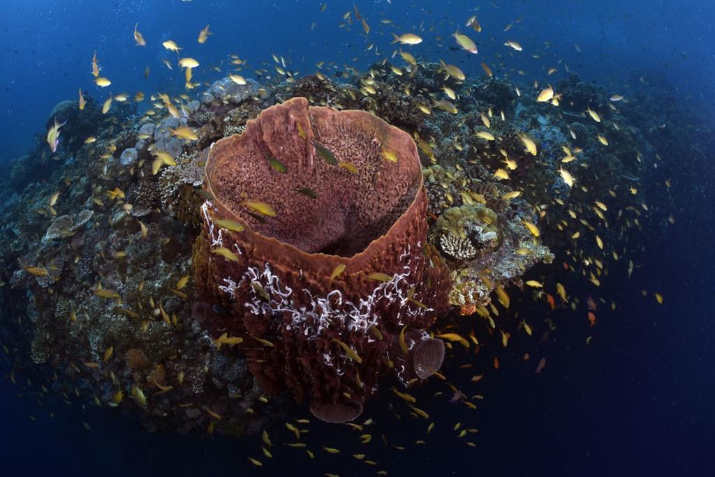 großer Vasenschwamm an der Steilwand von Pescador Island