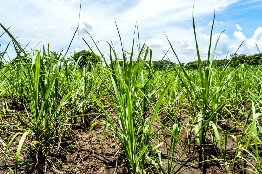 Zuckerrohrpflanzen auf den Philippinen