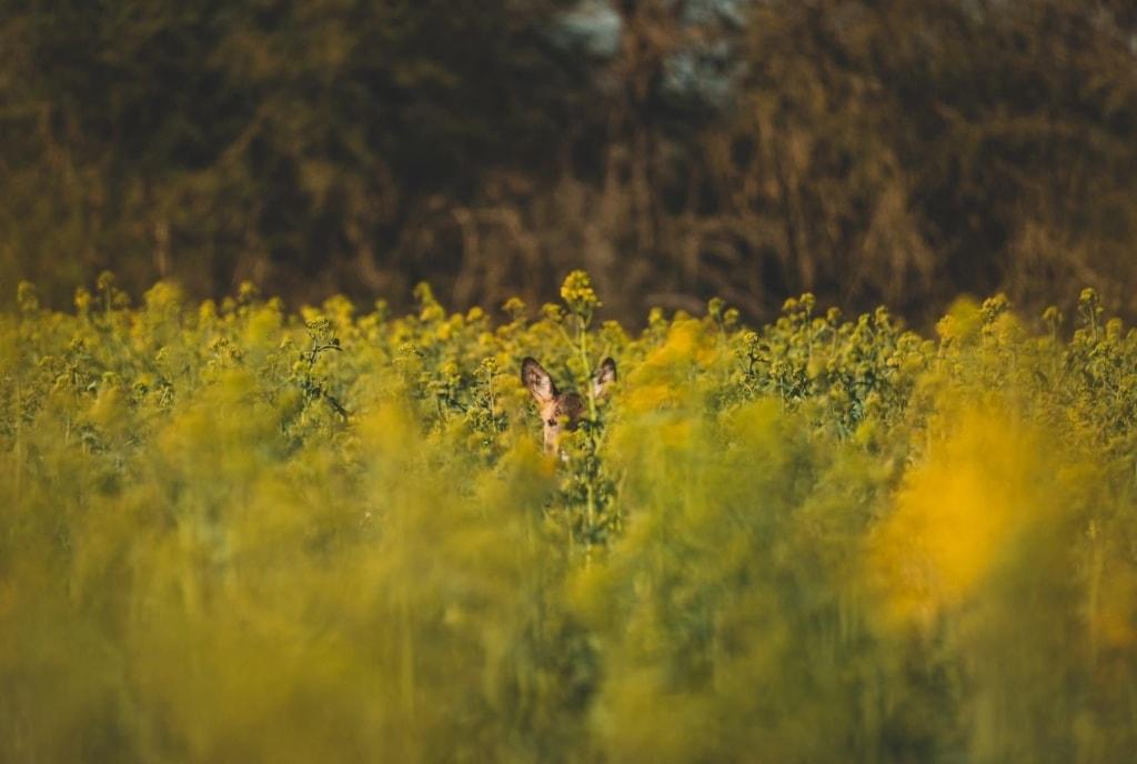 Reh in hohen Gräsern