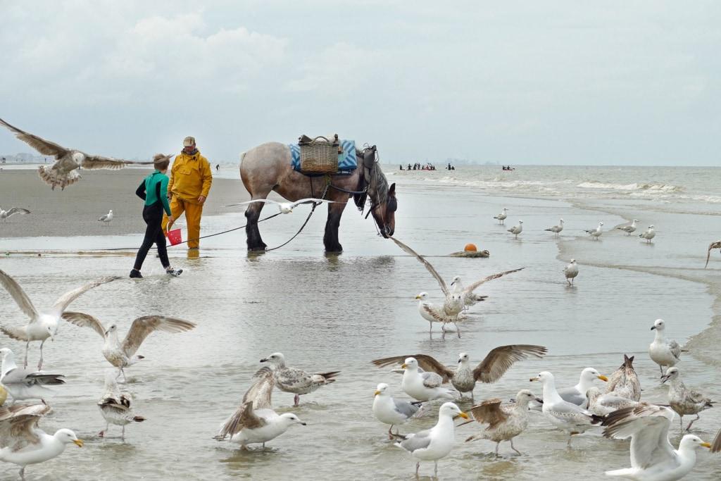Krabbenfischer steht mit seinem Pferd am Strand umgeben von Möwen
