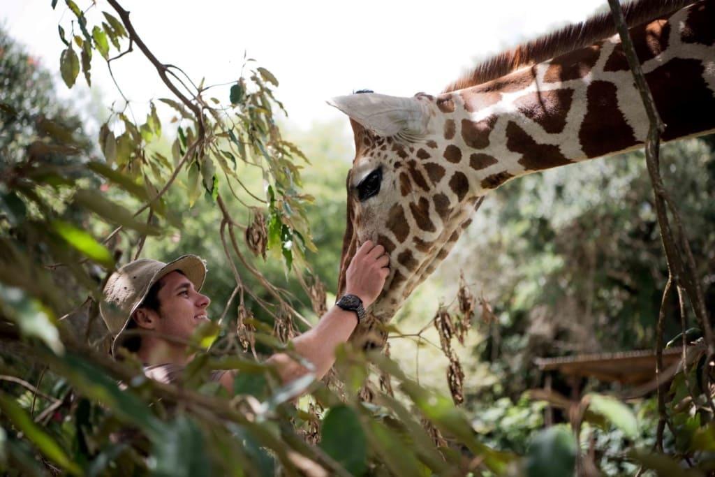 Mann streichelt Giraffe in Kenia