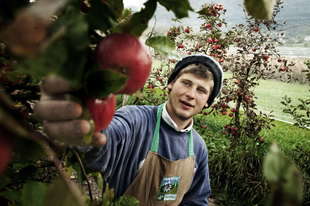 Im Val di Non leuchten die Äpfel gold und grün an den Zweigen.