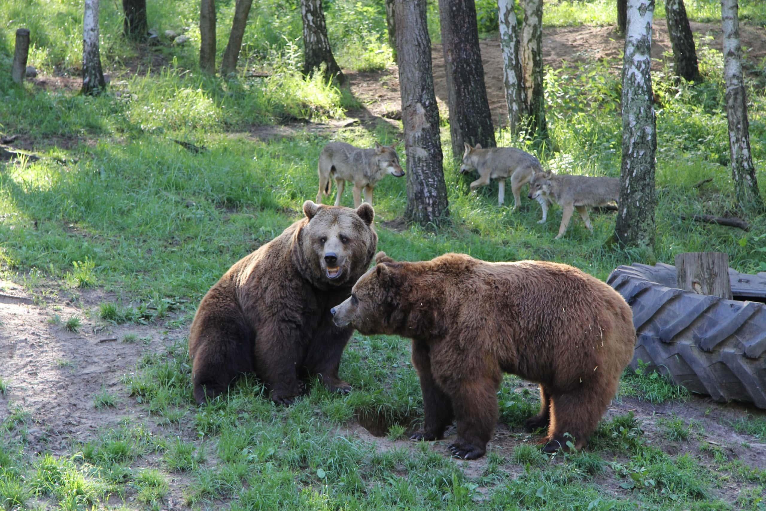 Braunbären und Wölfe im Wildgehege Mecklenburg-Vorpommern.