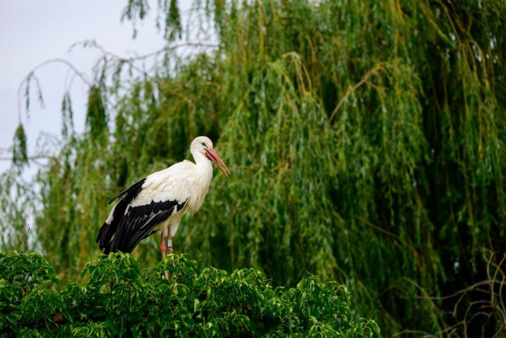 Storch im Naturpark Hunawihr