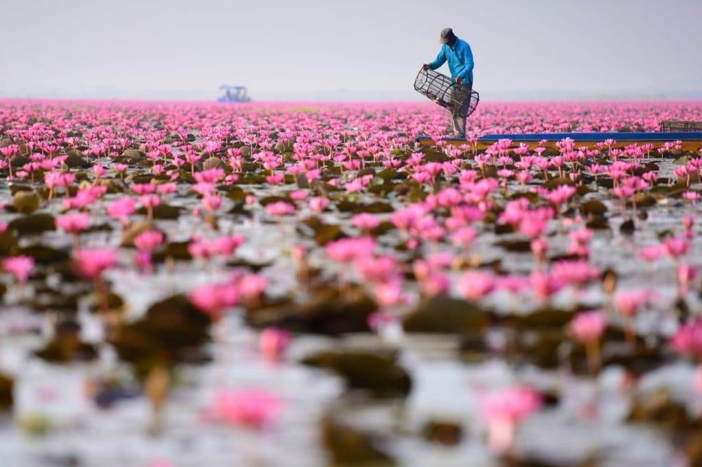 Pink Water Lilie Lake