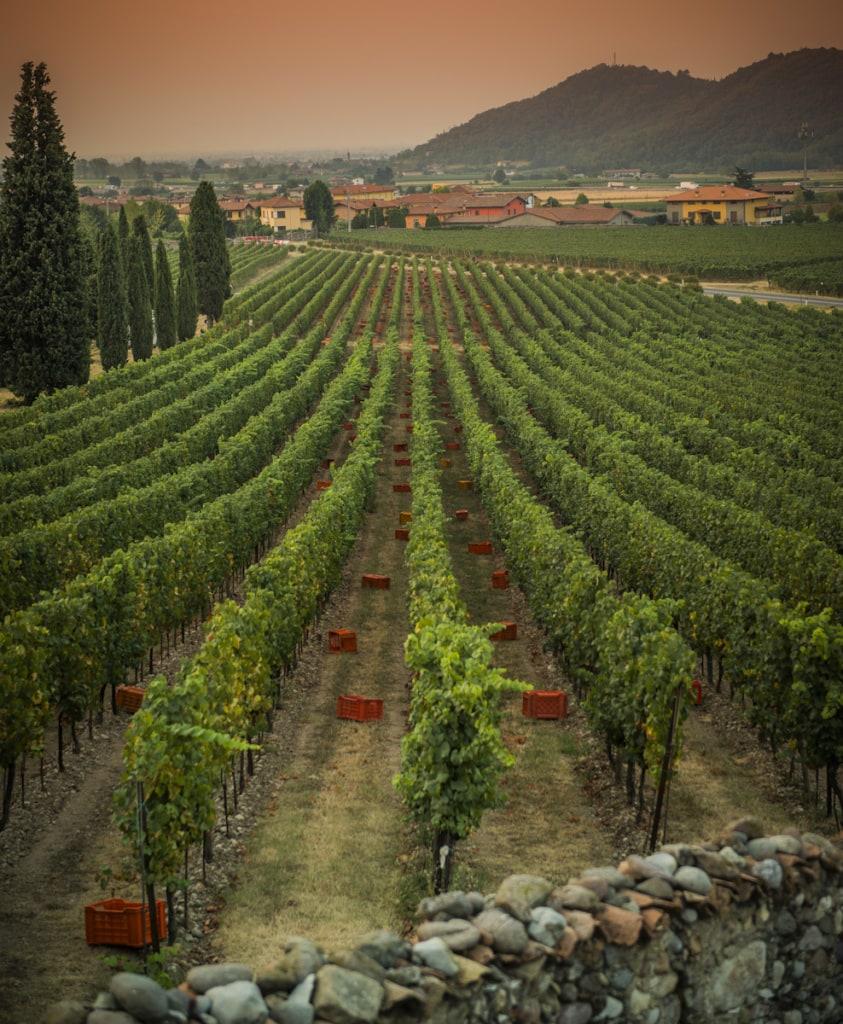Weinanbau Vendemmia