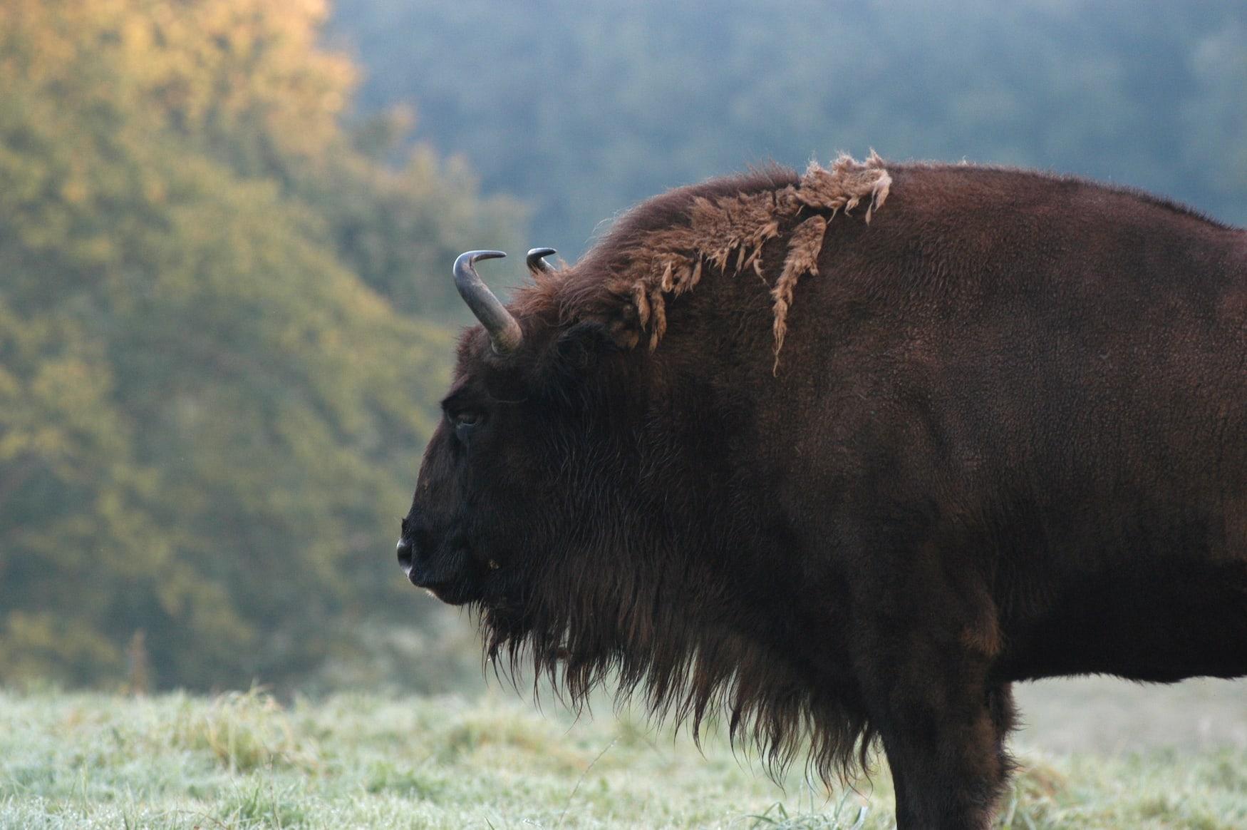 Auf Safari in Deutschland: Wisente steht im eiszeitlichen Wildgehege im Neanderthal Museum