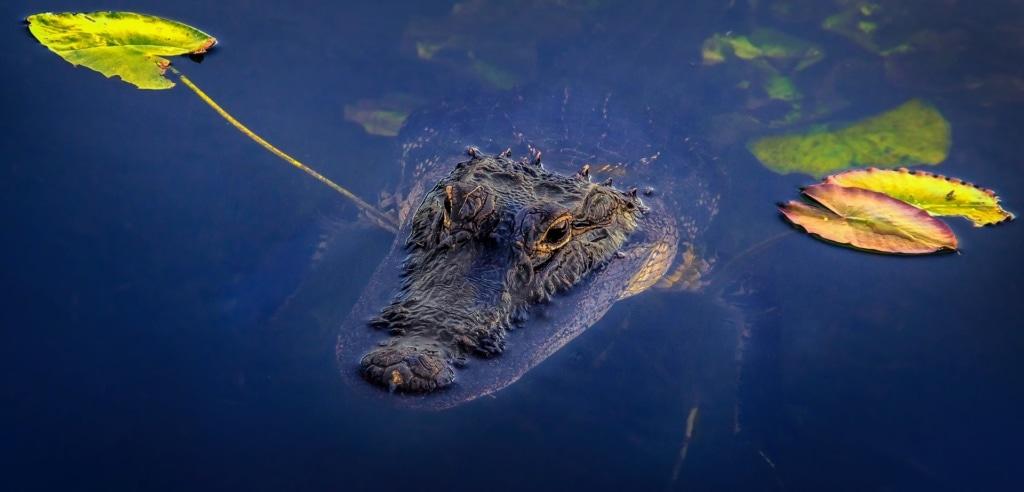 Aligator in den Everglades in Florida
