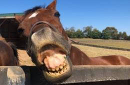 Pferd zeigt Zähne im Altersheim für Rennpferde in Kentucky