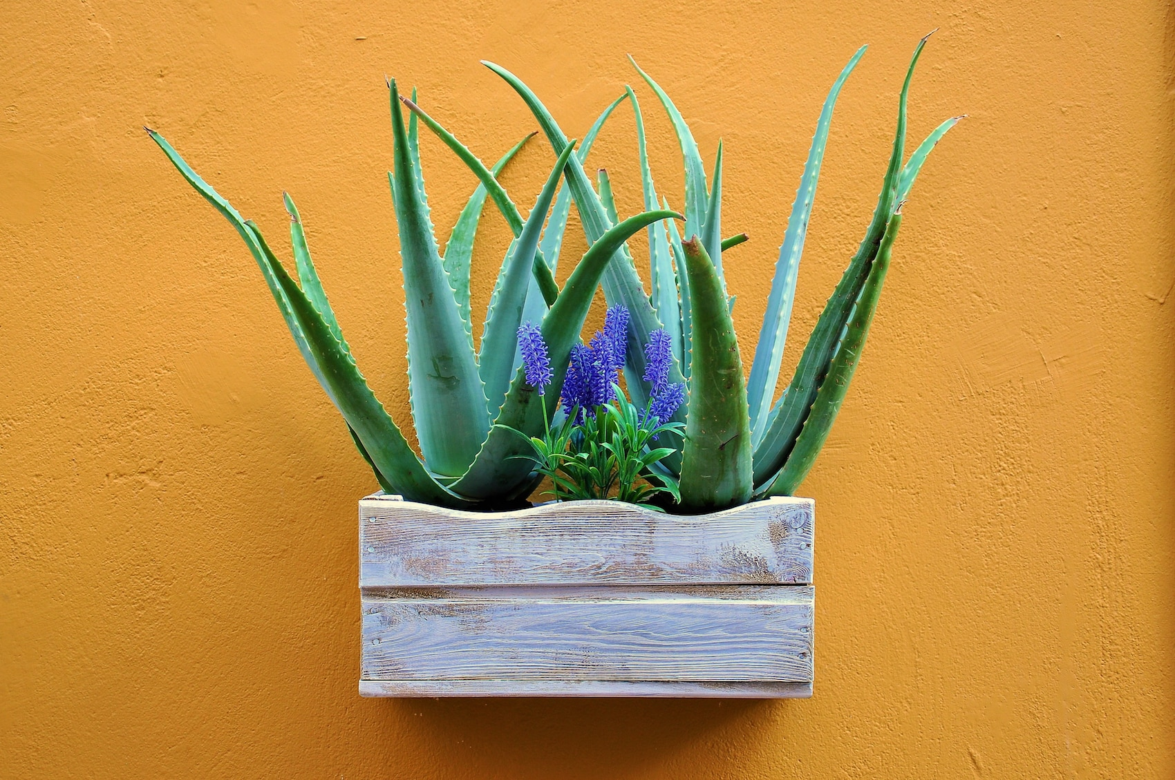 Die Aloe Vera Pflanze ist ein wichtiger Bestandteil der Wellness-Kultur von Gran Canaria.