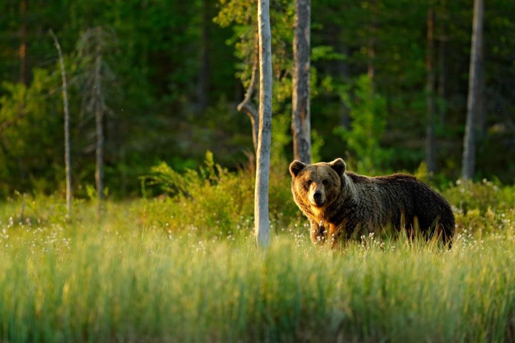 Braunbär auf einer Wiese in Nord-Finnland