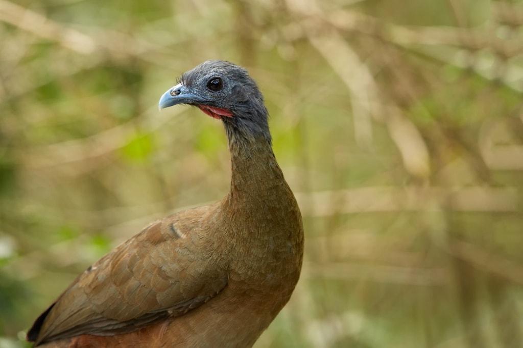 Nationalvogel von Tobago: Cocrico