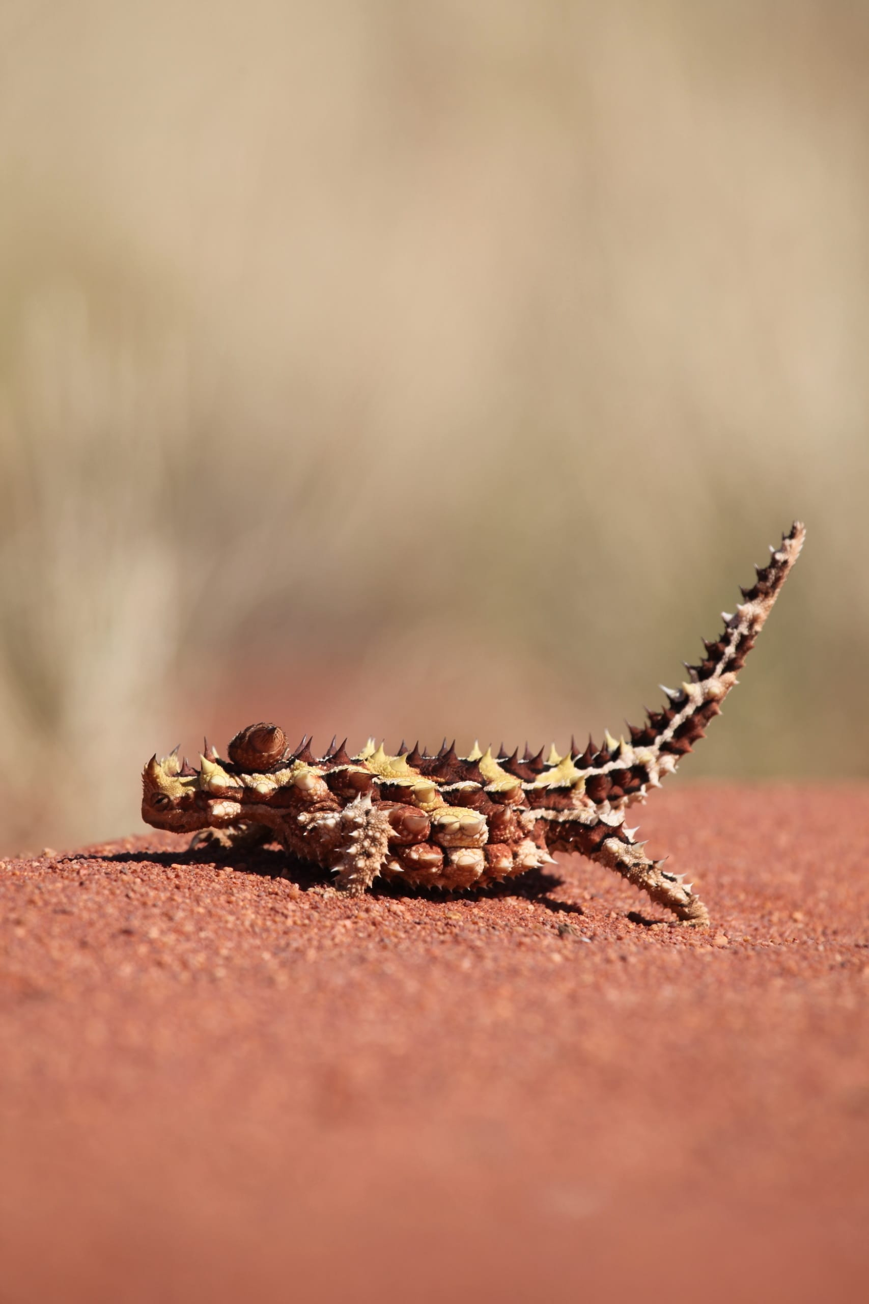 Thorny Devil in australischem Outback