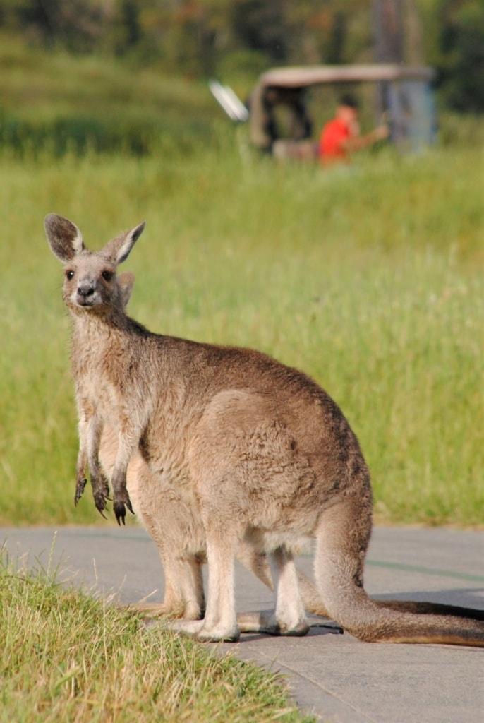Känguru auf einem Golfplatz