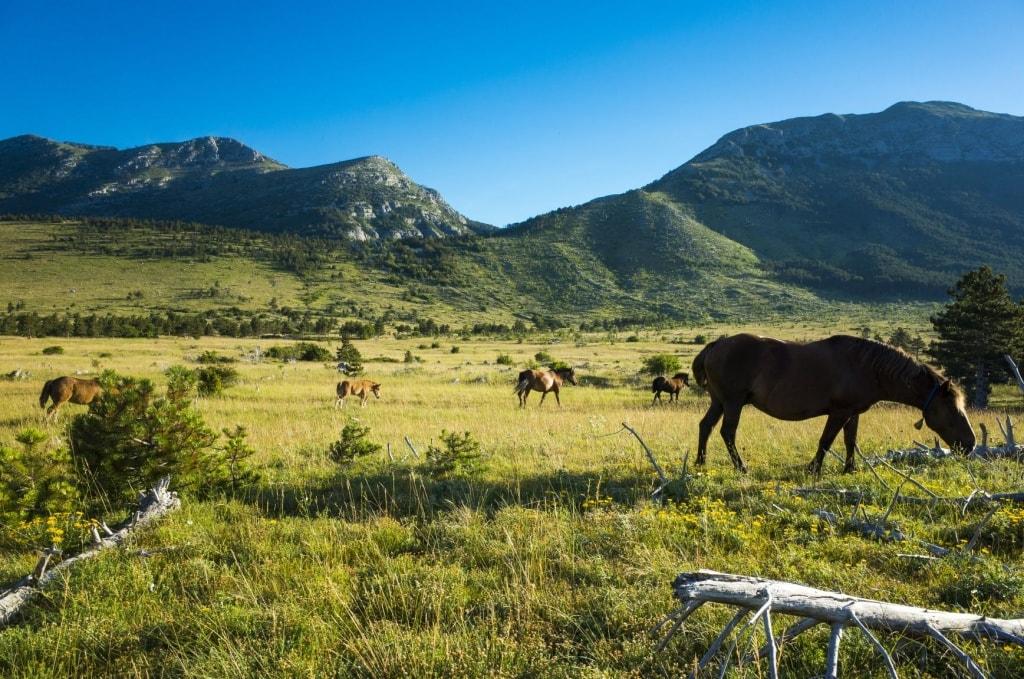 Pferde auf einer Wiese im Nationalpark Paklenica in Kroatien