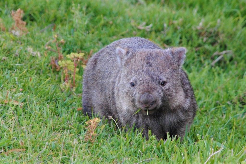 Wombat in Australien