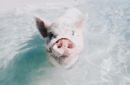 Schwein schwimmt in Meer auf den Bahamas
