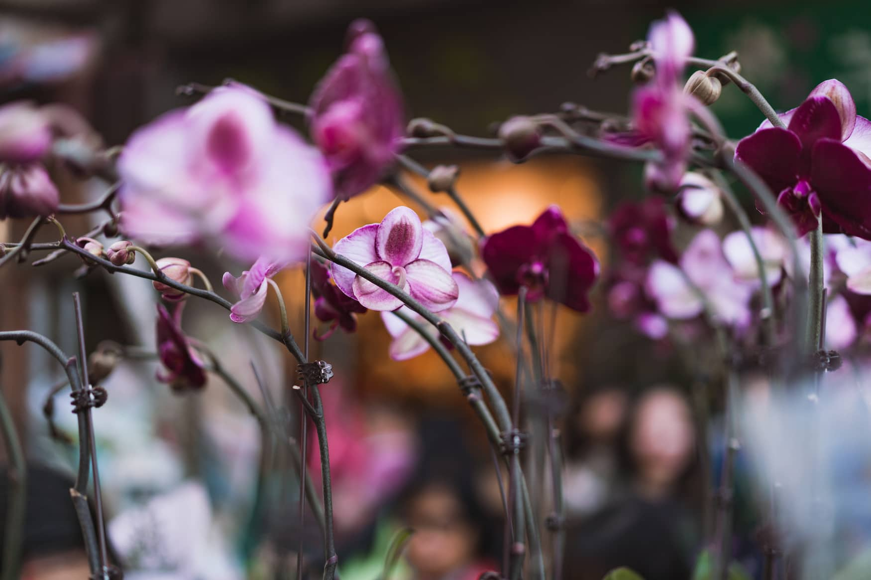 Schmetterlingsorchideen von einem Flotter Market in Hongkong. Tradition zum chinesischen Neujahrsbeginn.
