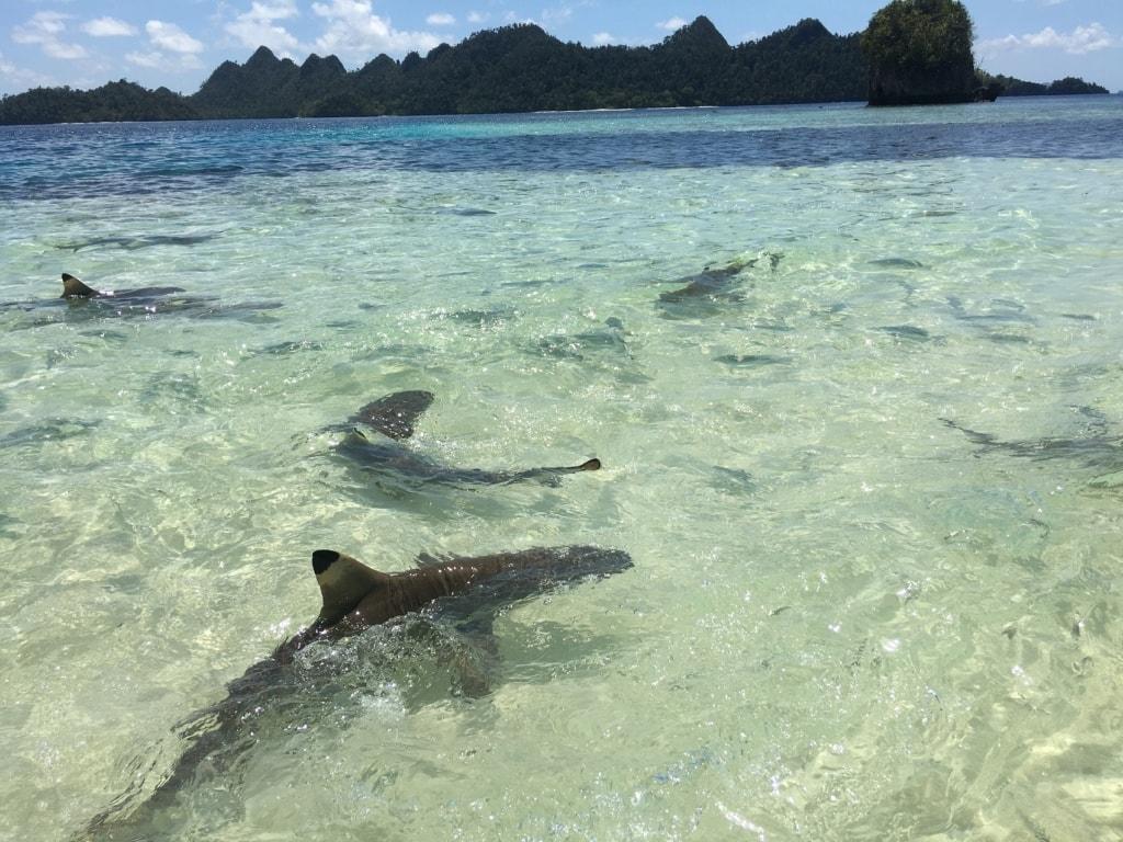 Riffhaie sind nichts ungewöhnliches in West-Papua - und völlig ungefährlich.
