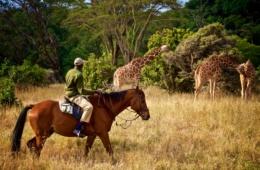 Ranger auf einem Pferd, im Hintergrund Giraffen