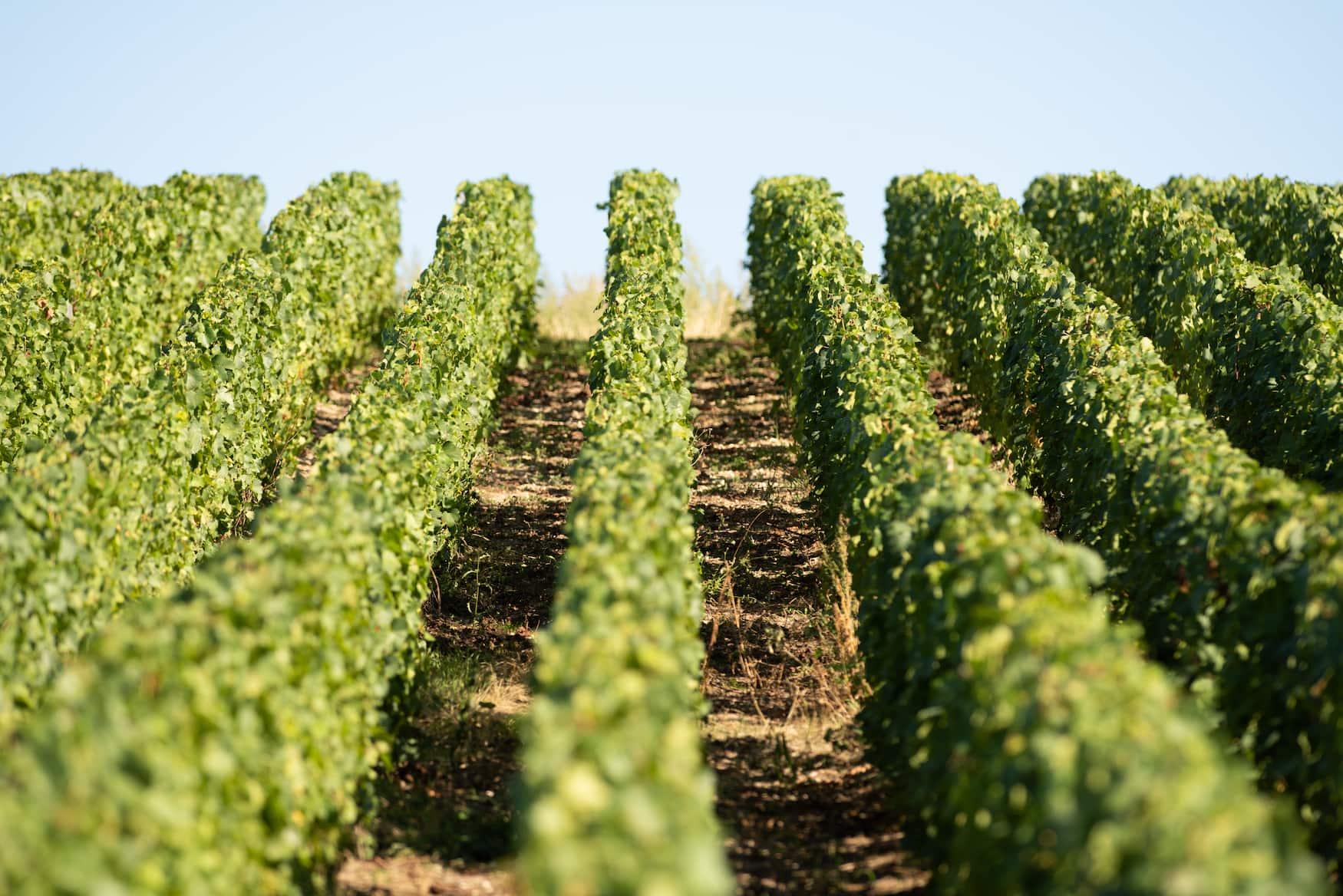 Weinfelder in der Champagne in Frankreich