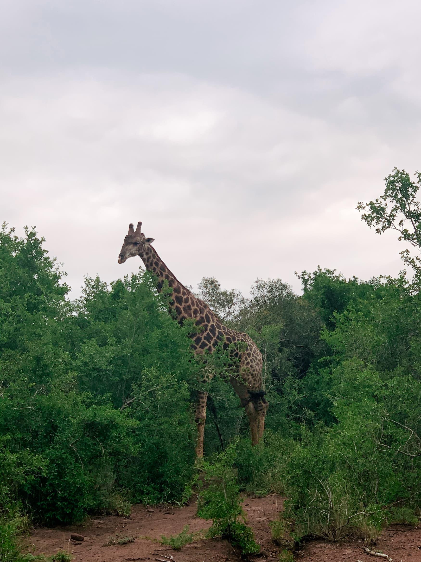 Giraffe steht zwischen Bäumen im Phinda Private Game Reserve in Südafrika