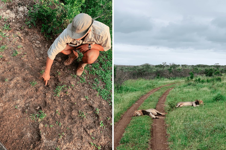 Ranger liest Spuren, um auf der Safari in Südafrika Löwen zu sehen