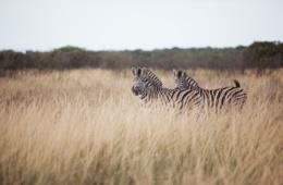Zebras grasen in südafrikanischer Landschaft