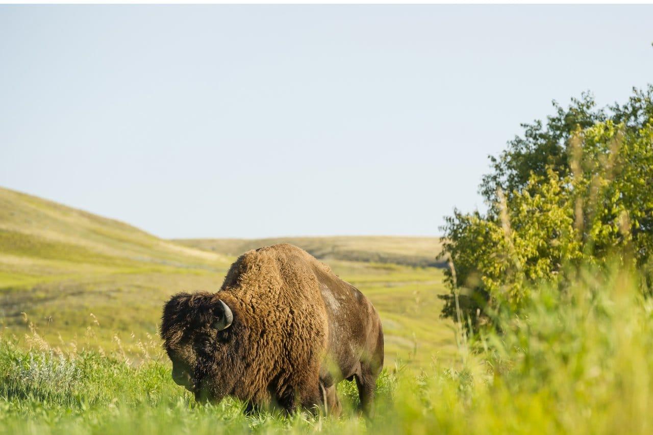 Bison auf einer Wiese im Grassland National Park in Saskatchewan