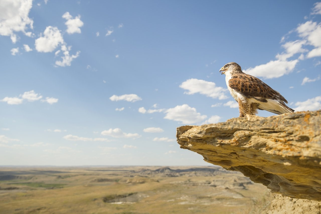 Adler sitzt auf einem Felsvorsprung im Grasslands Nationalpark