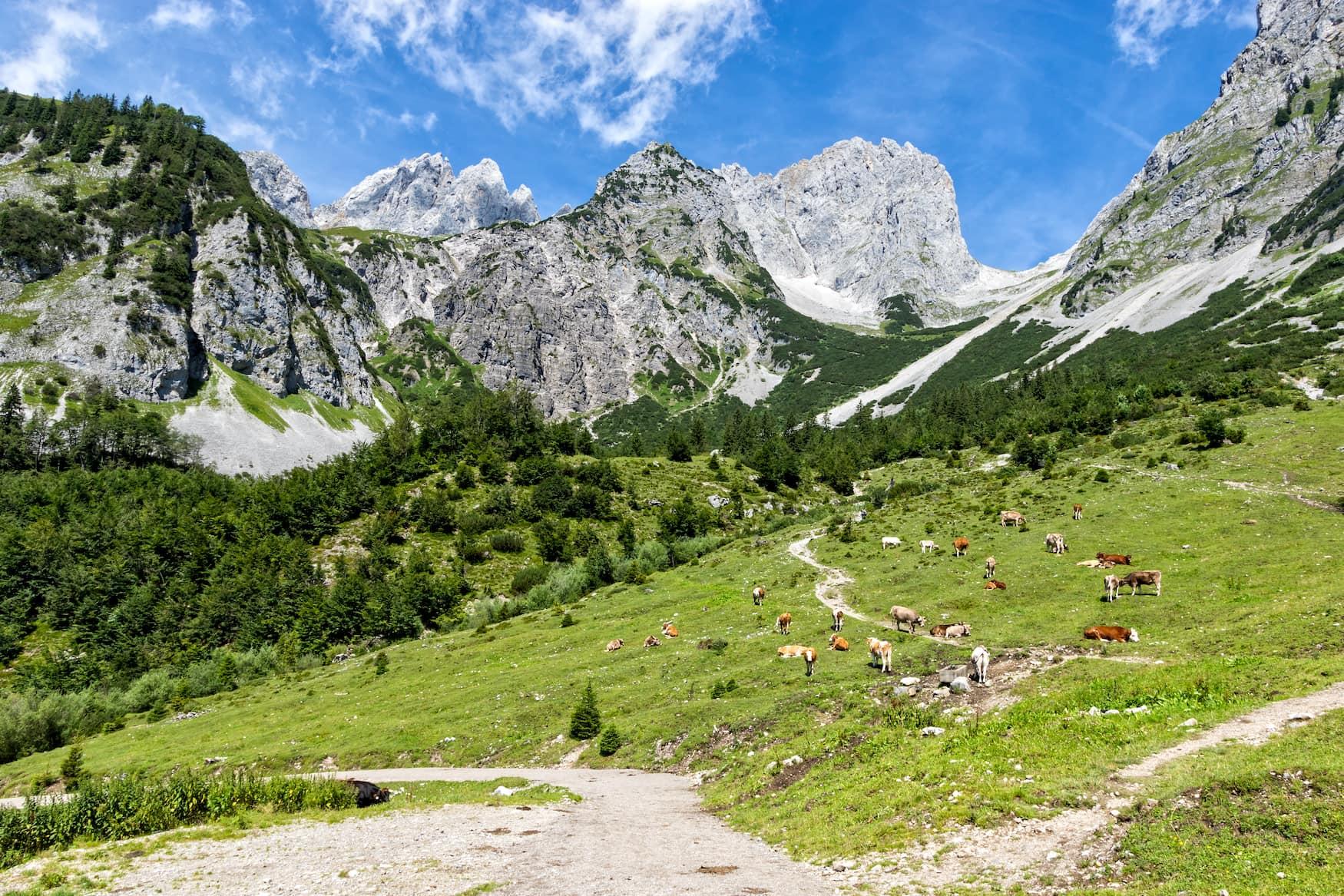 Kühe auf Wiese vor Bergkulisse des Kaisergebirges in Österreich