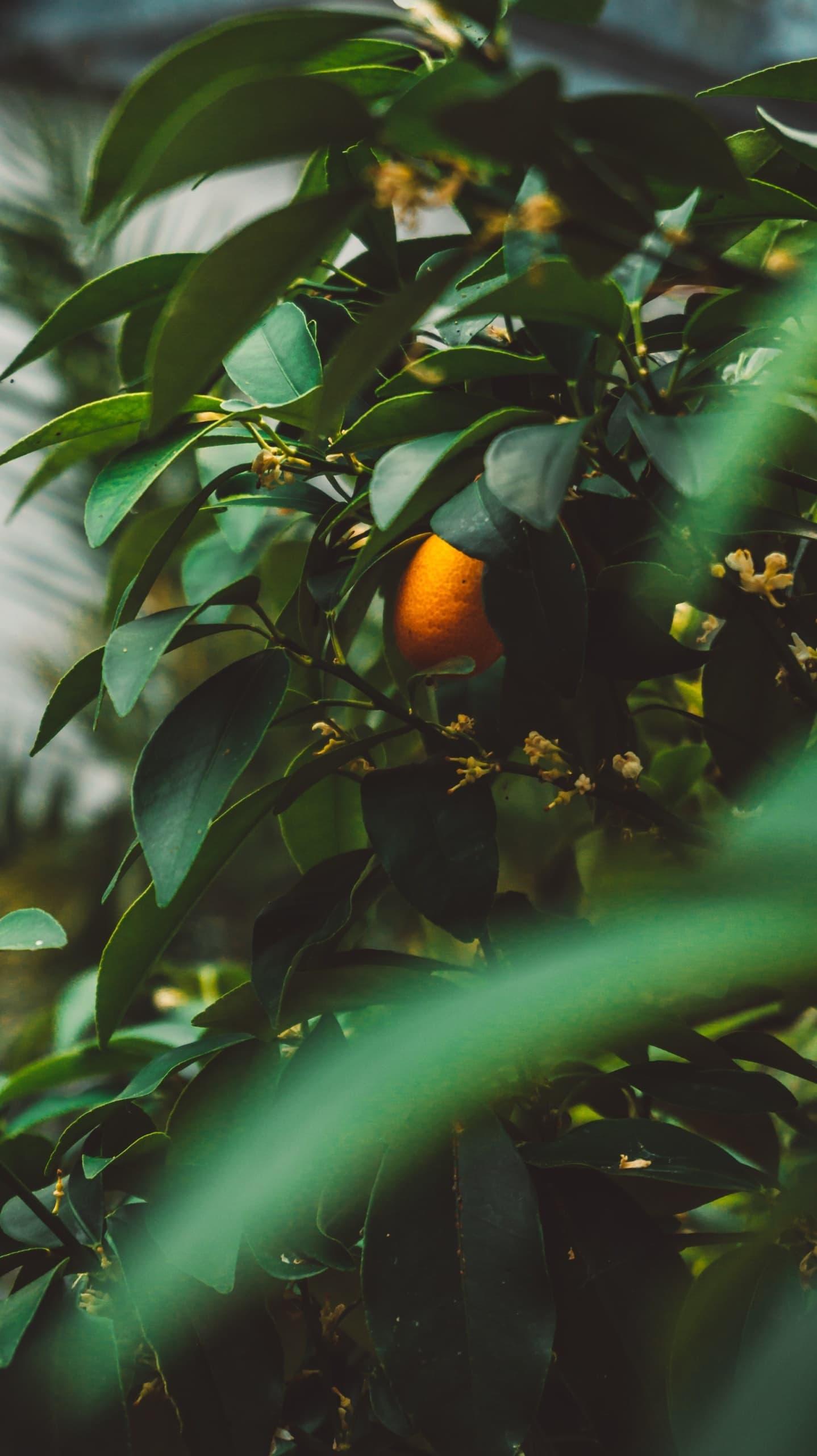 Orangefarbene Kumquats