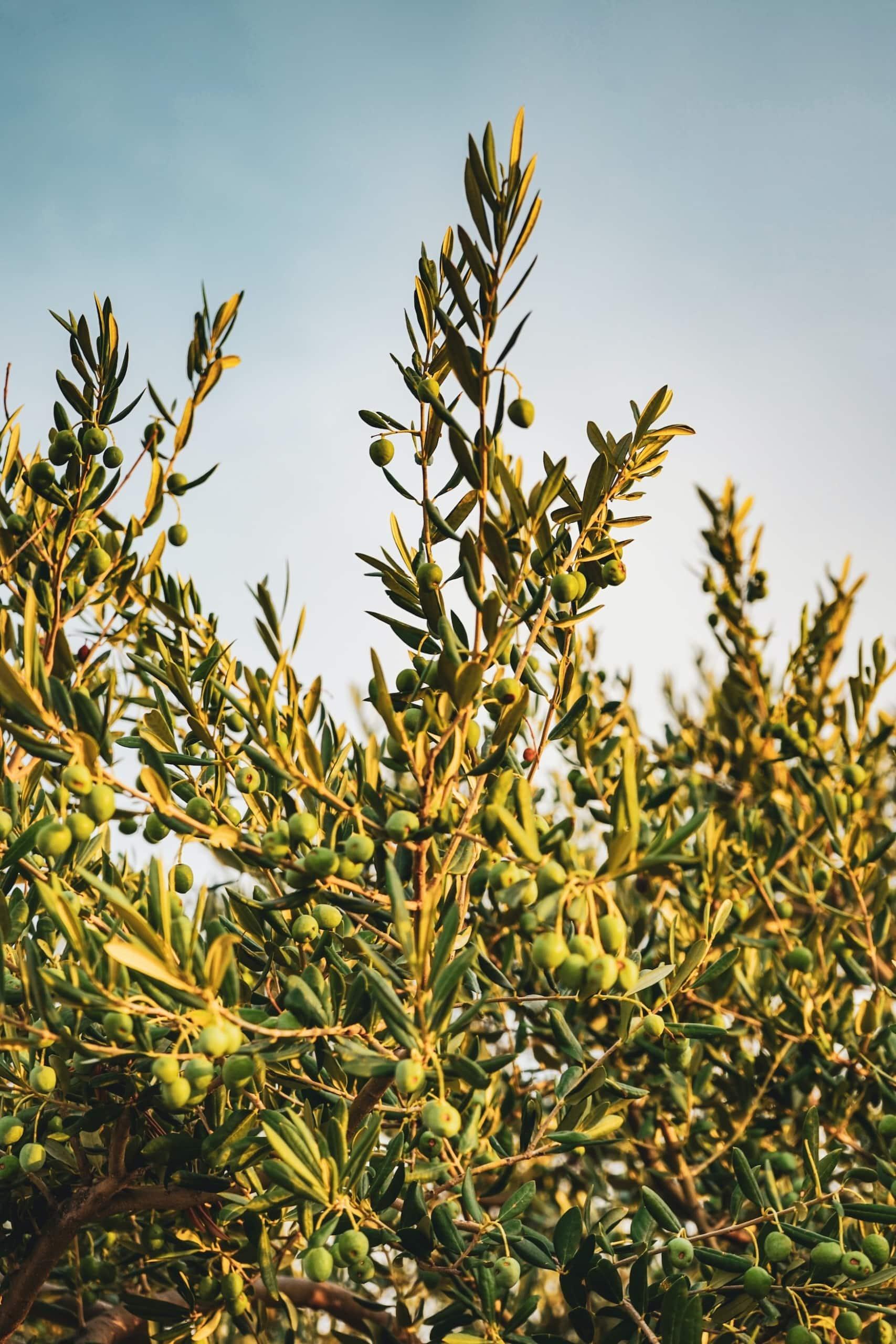 Olivenbäume auf der Insel Korfu