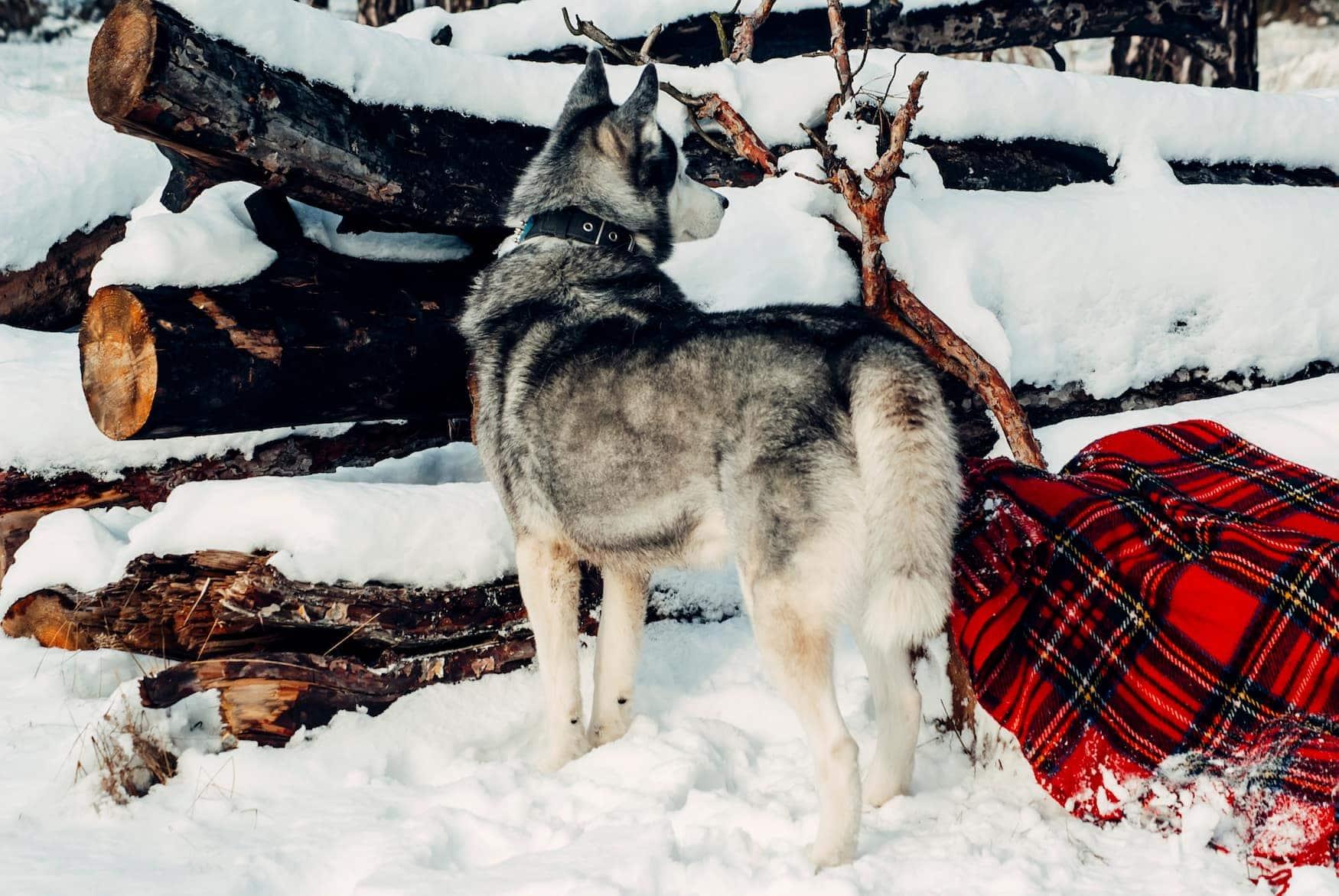 Husky im Winter in den Vogesen