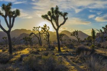 Joshua Tree in Arizona