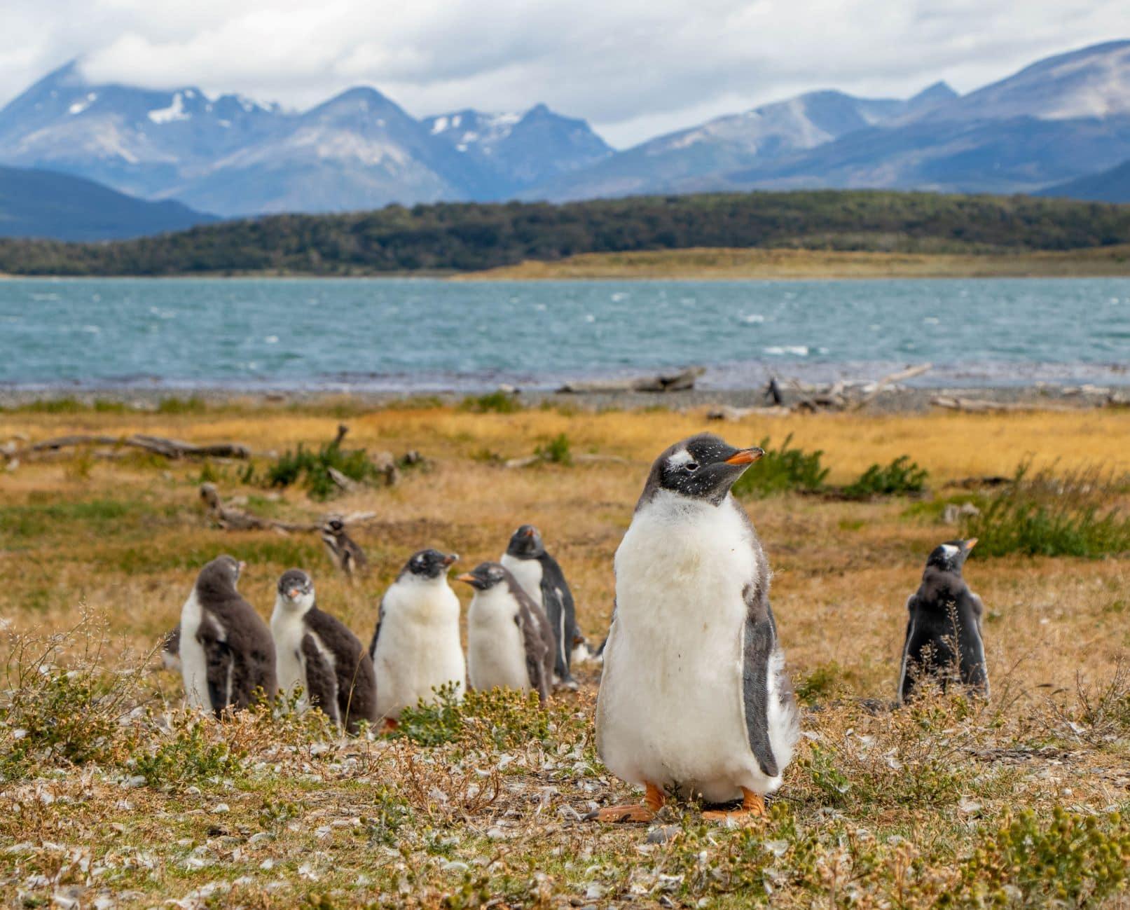 Papua Penguins auf Martillo Island, Ushuaia, Tierra del Fuego