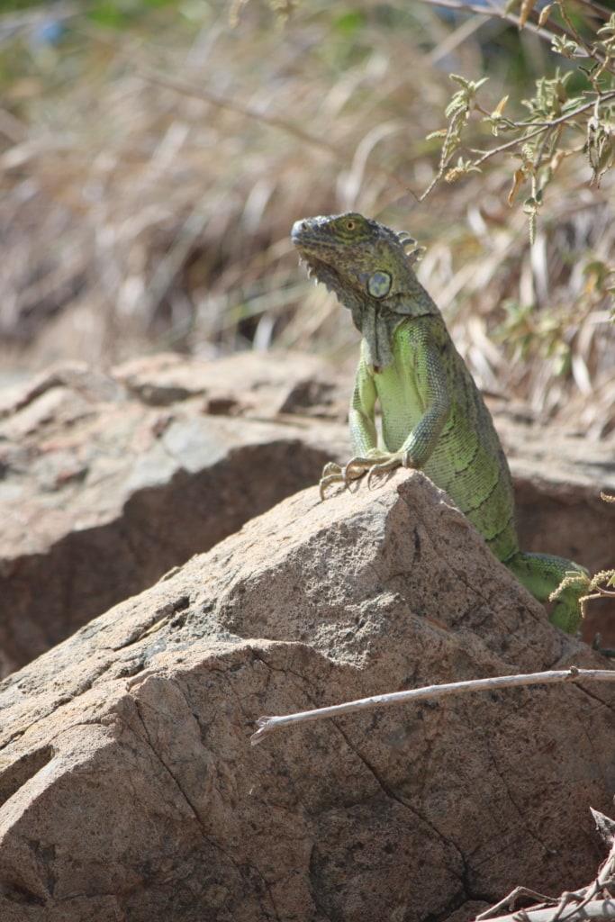 Auf der kleinen vorgelagerten Insel Pinel vor St. Martin leben Iguanas.
